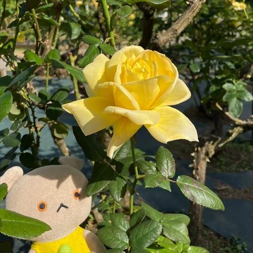 ゆうブログケロブログバラ苑2020秋 (8)_R