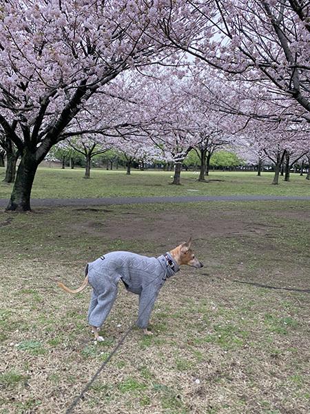 2021ジル子と桜1