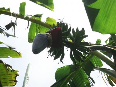 210525-201=バナナの花と実 a庵果樹園