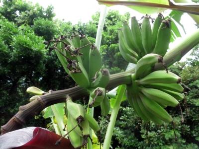 210525-207=バナナの実 a庵果樹園