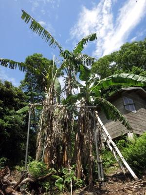210525-212=バナナの樹と脚立 a庵果樹園