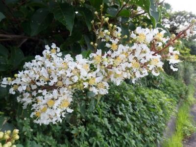 210624-11=シマサルスベリの花 aONA県道