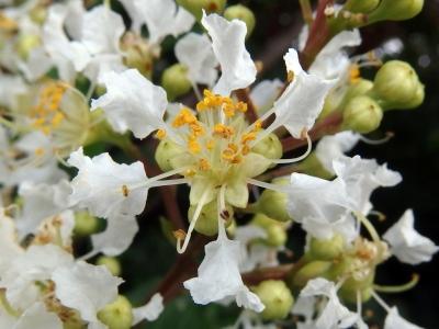 210624-13=シマサルスベリの花 aONA県道