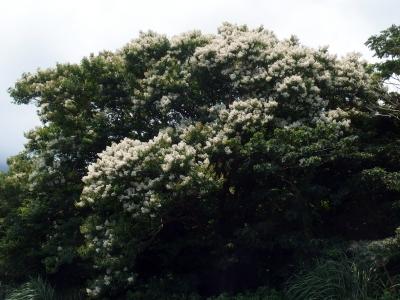 210625-12=シマサルスベリの樹 aONA県道