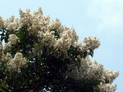 210625-13=シマサルスベリの花 aONA県道
