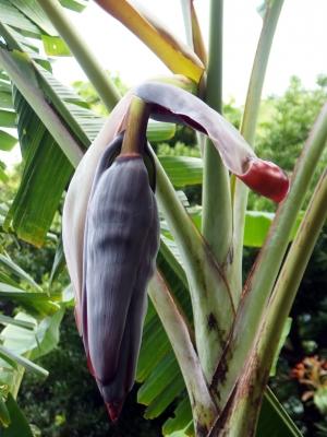 210630-21=2つ目のバナナの花 a庵果樹園