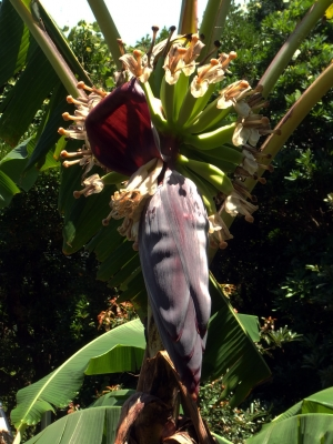 210706-13=2つ目のバナナの花と実 a庵果樹園
