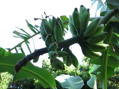 210716-13=花切り落とし後1つ目のバナナの実 a庵果樹園