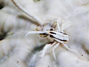 コマチコシオリエビ (11)