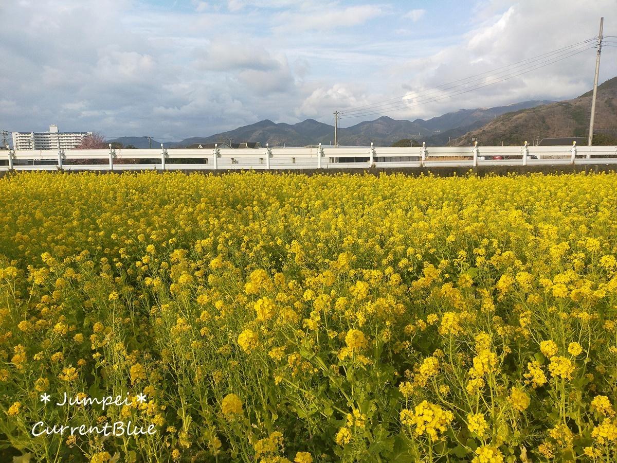 西伊豆菜の花