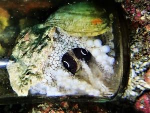メジロダコ抱卵