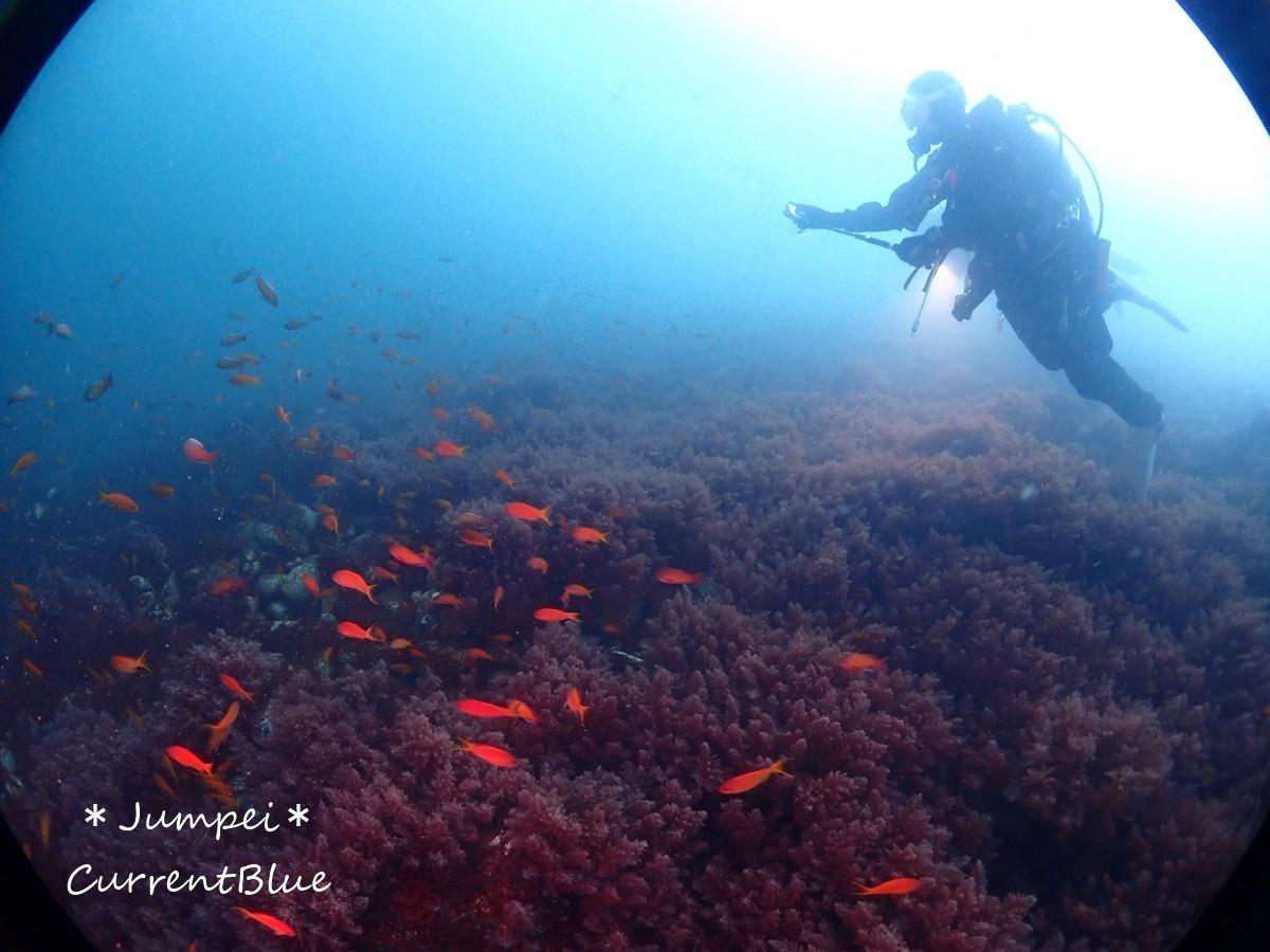 大瀬崎岬の先端サンゴ,ソフトコーラル (3)