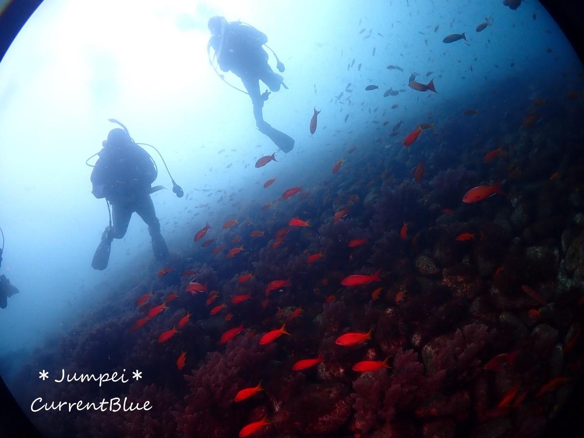 大瀬崎岬の先端サンゴ,ソフトコーラル (4)