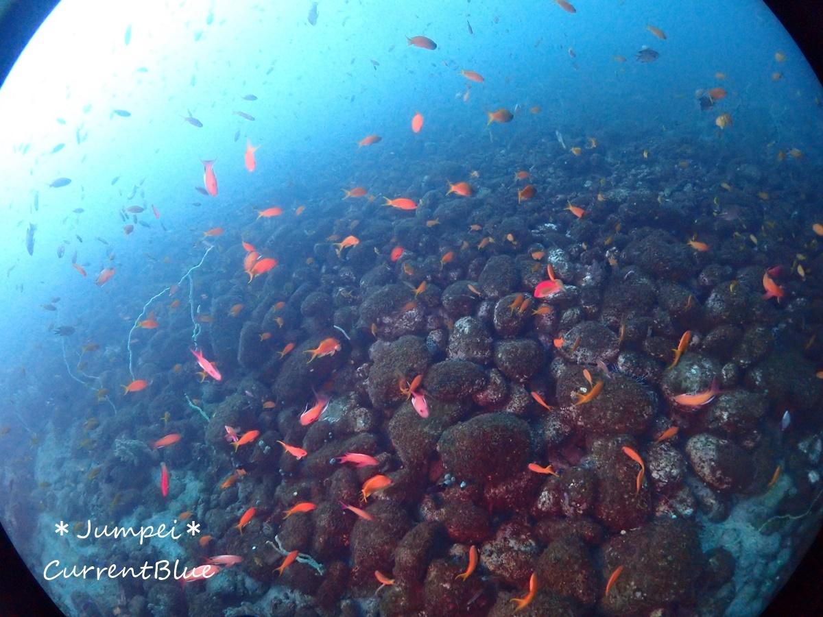 大瀬崎岬の先端サンゴ,ソフトコーラル (5)