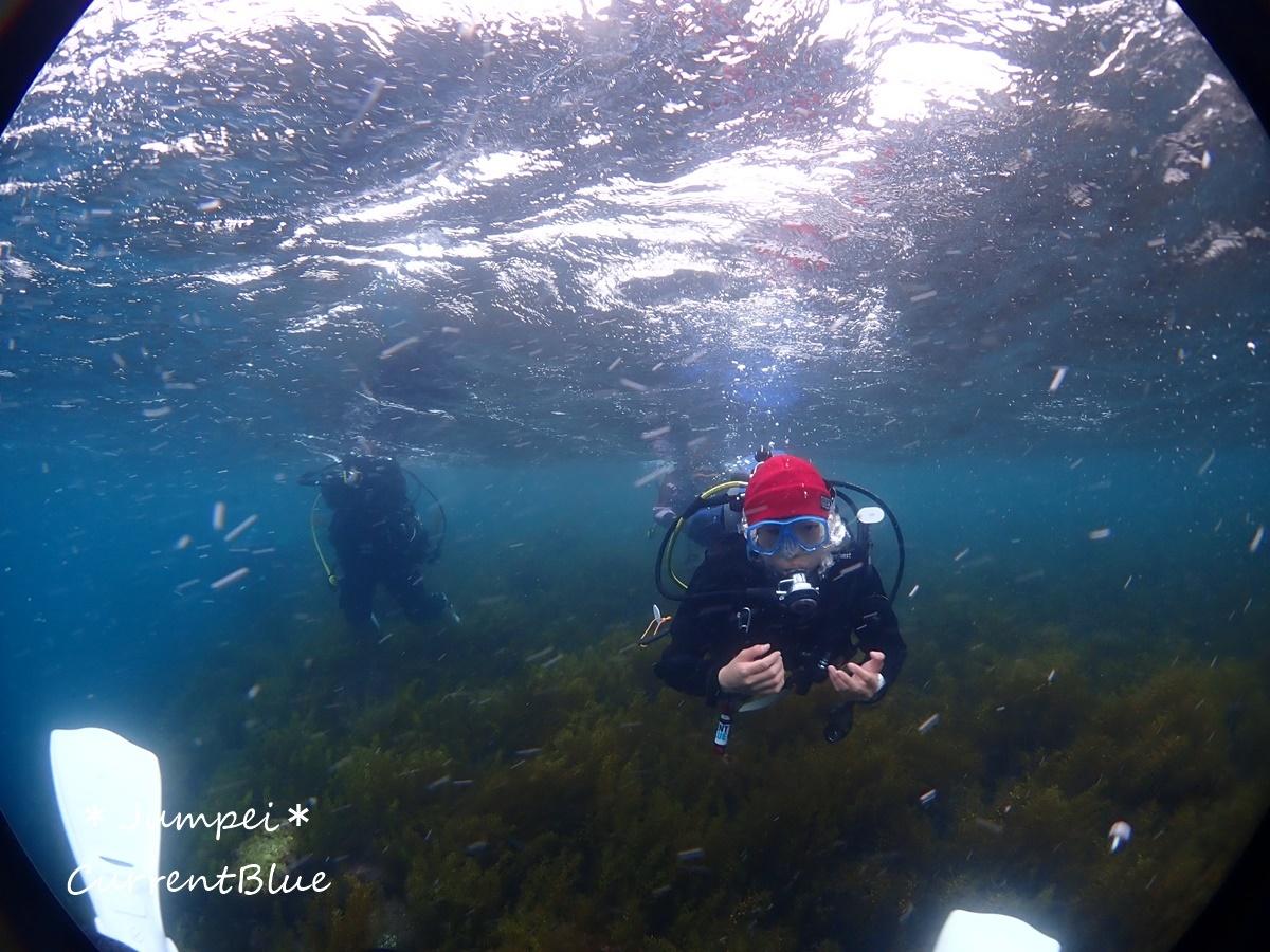 大瀬崎岬の先端サンゴ,ソフトコーラル (1)