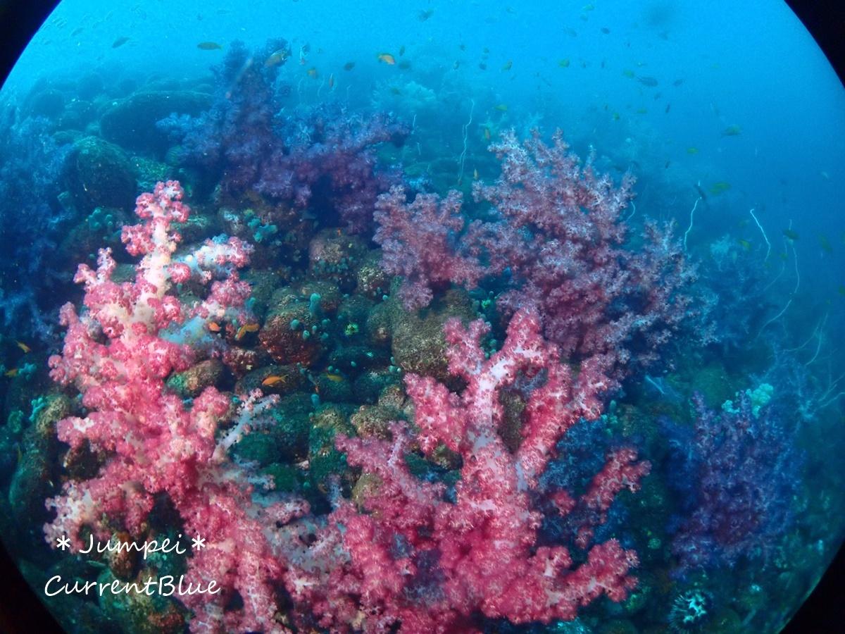 大瀬崎岬の先端サンゴ,ソフトコーラル (8)