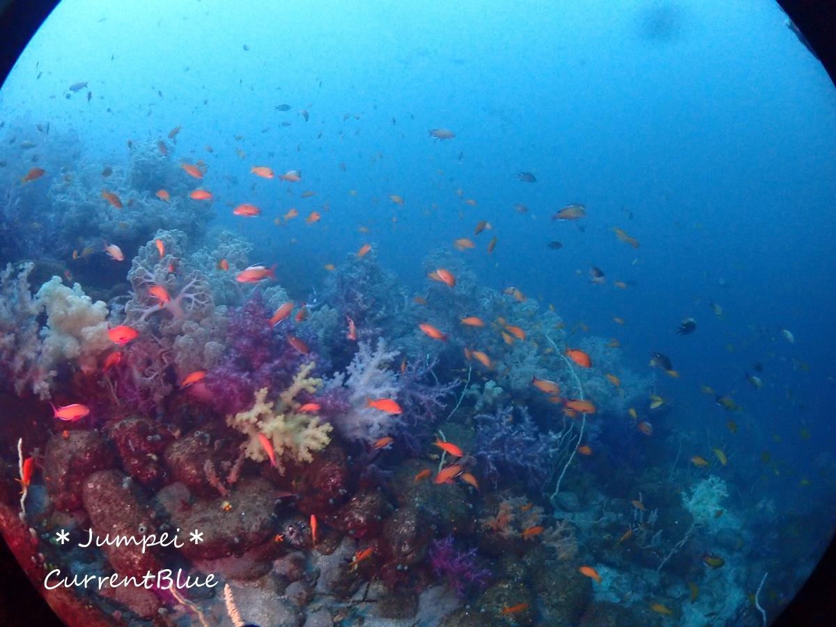 大瀬崎岬の先端サンゴ,ソフトコーラル (9)
