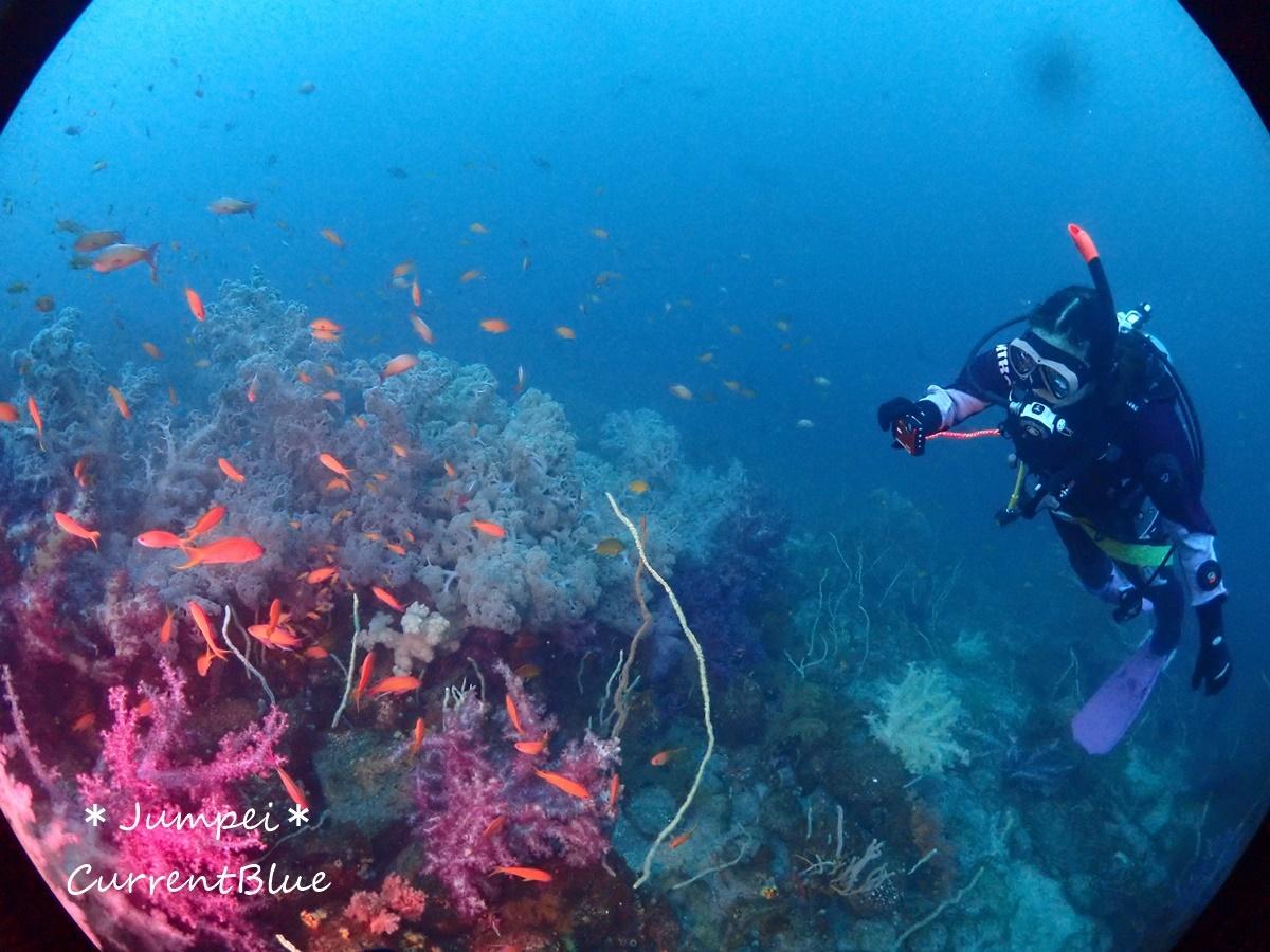 大瀬崎岬の先端サンゴ,ソフトコーラル (11)