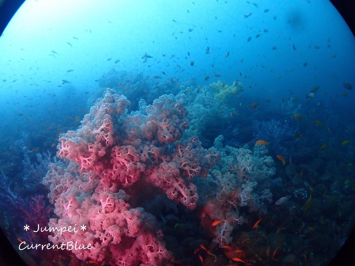 大瀬崎岬の先端サンゴ,ソフトコーラル (12)