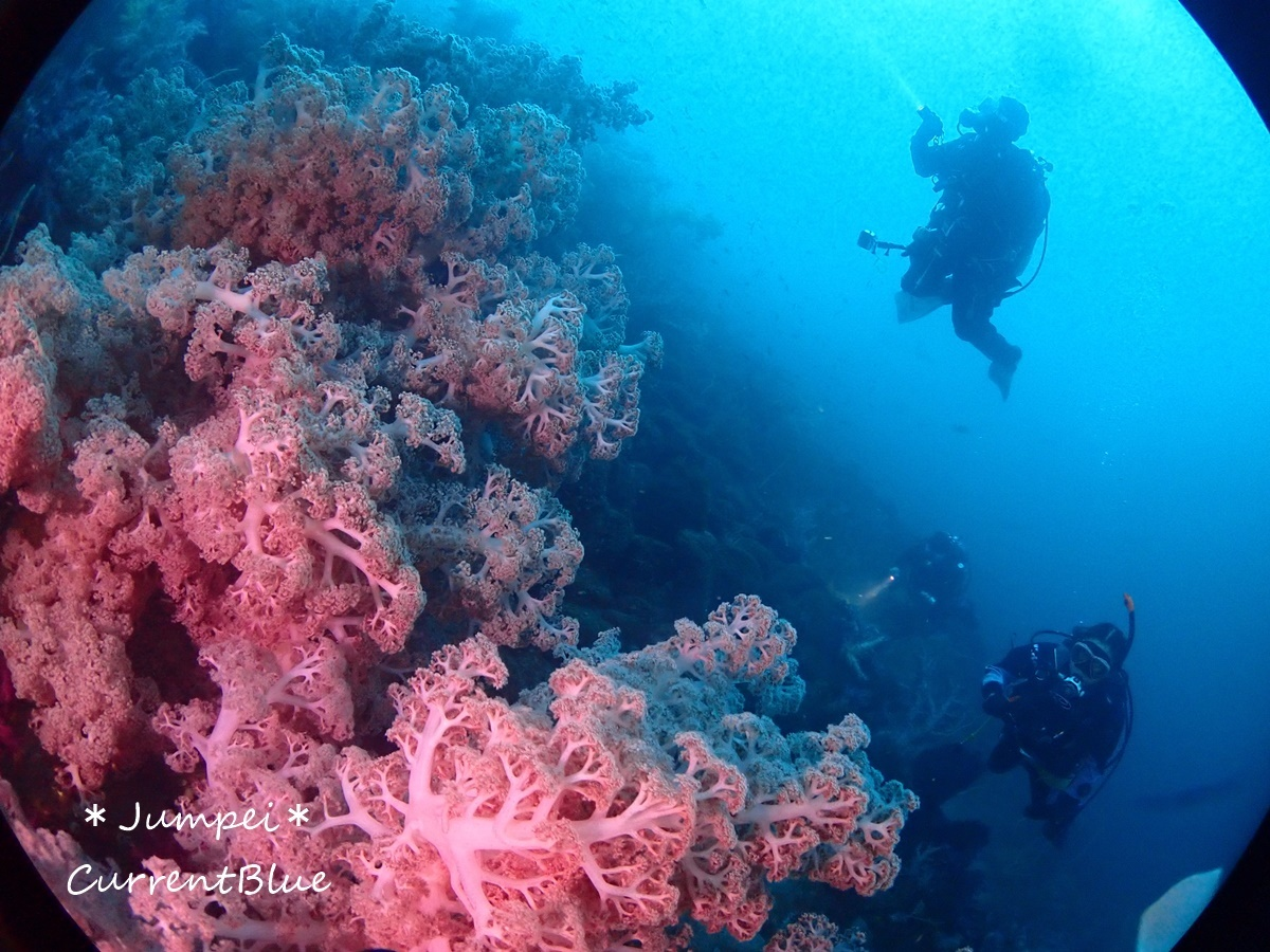大瀬崎岬の先端サンゴ,ソフトコーラル (13)