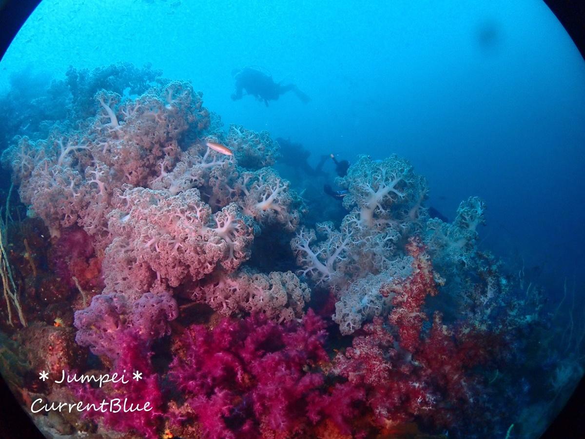 大瀬崎岬の先端サンゴ,ソフトコーラル (14)