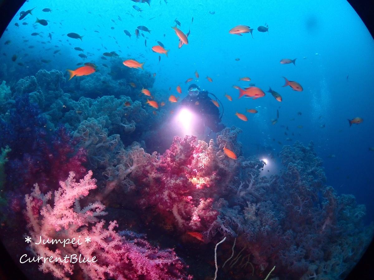 大瀬崎岬の先端サンゴ,ソフトコーラル (15)