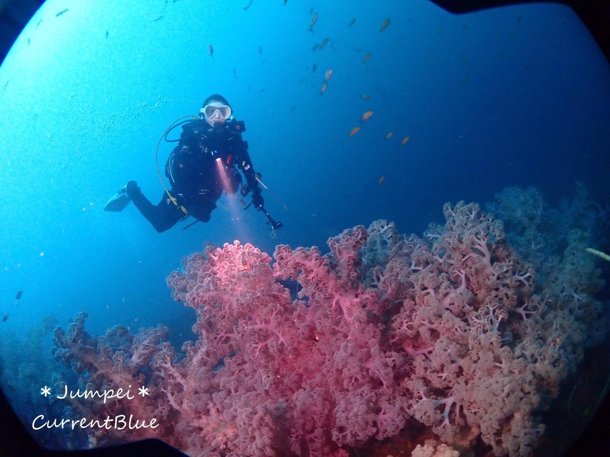 大瀬崎岬の先端サンゴ,ソフトコーラル (17)