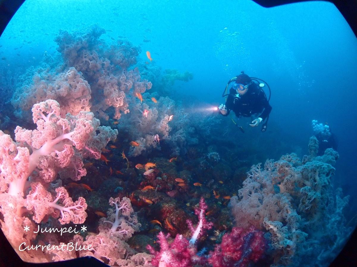 大瀬崎岬の先端サンゴ,ソフトコーラル (18)
