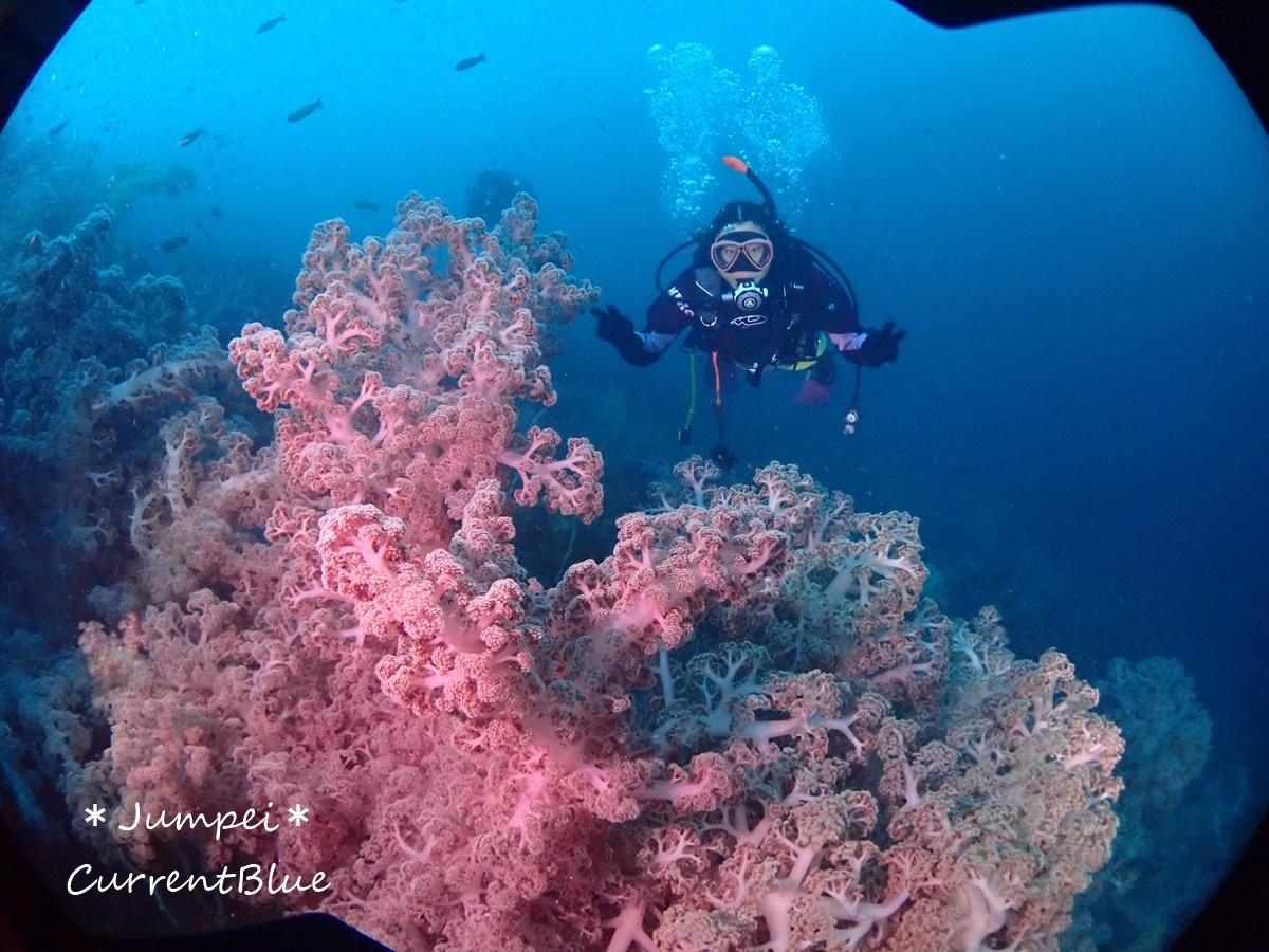 大瀬崎岬の先端サンゴ,ソフトコーラル (19)