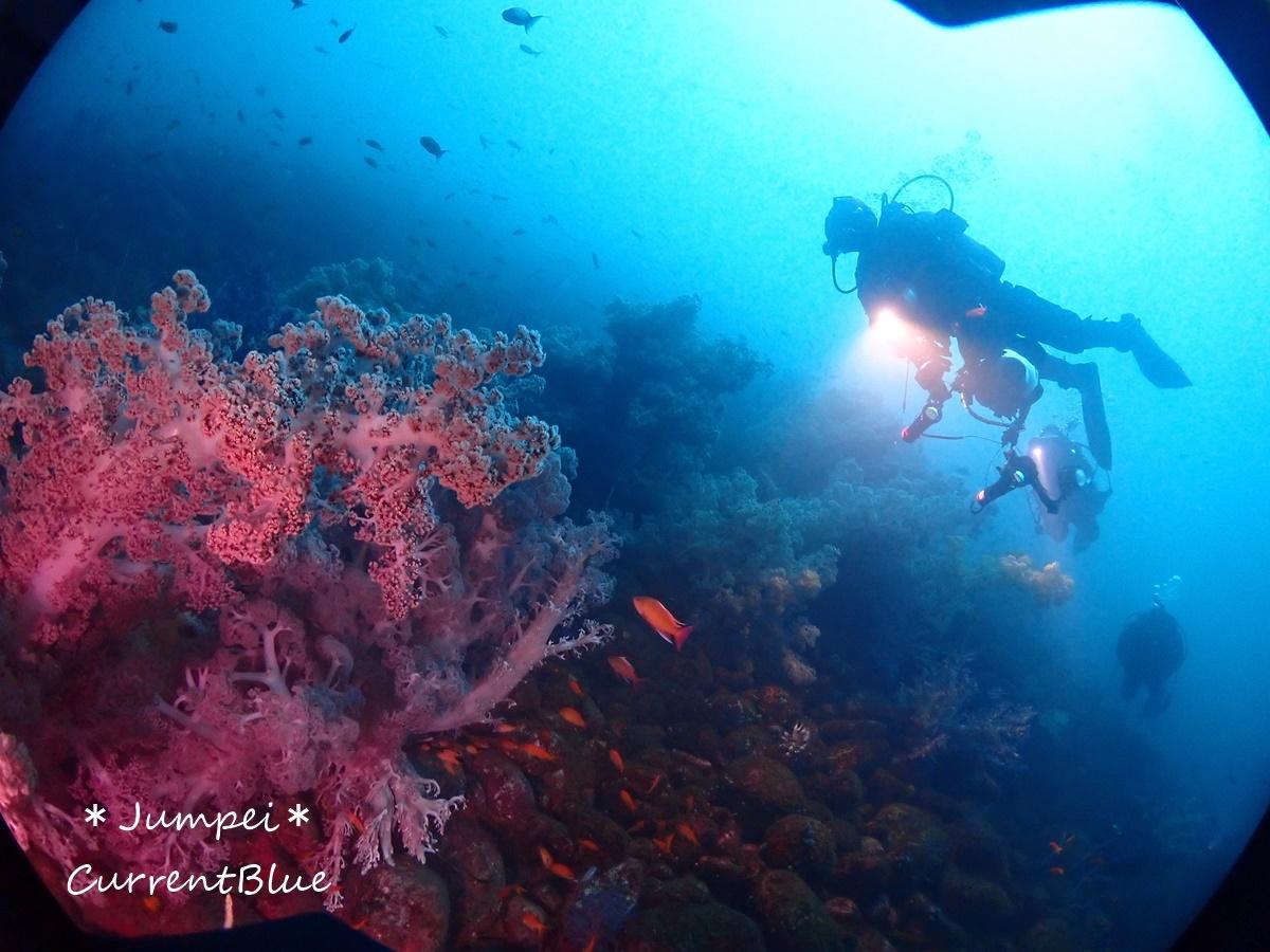 大瀬崎岬の先端サンゴ,ソフトコーラル (21)