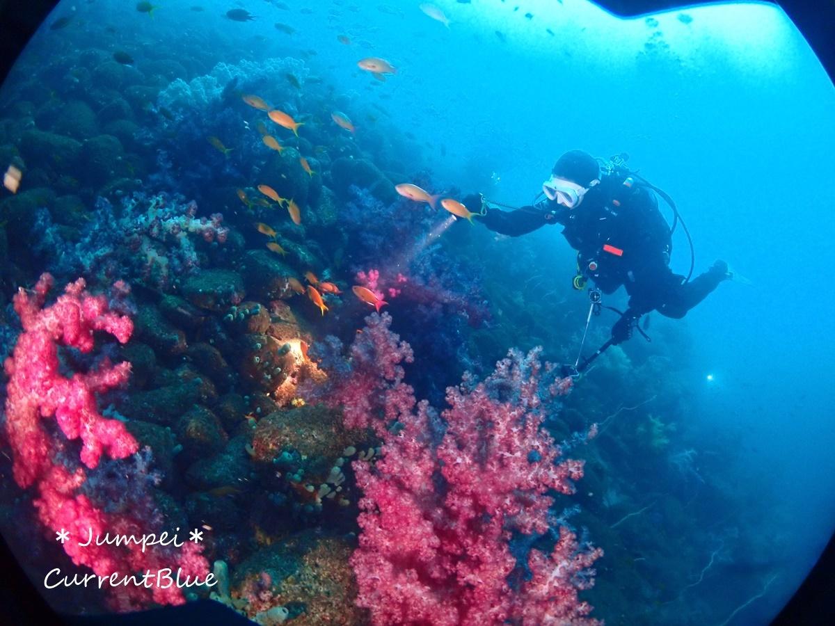大瀬崎岬の先端サンゴ,ソフトコーラル (22)