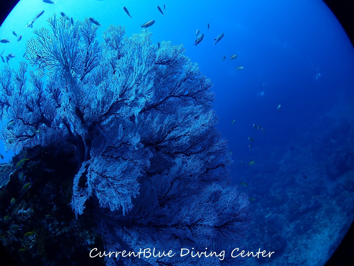 八丈島ダイビングカレントブルー (5)