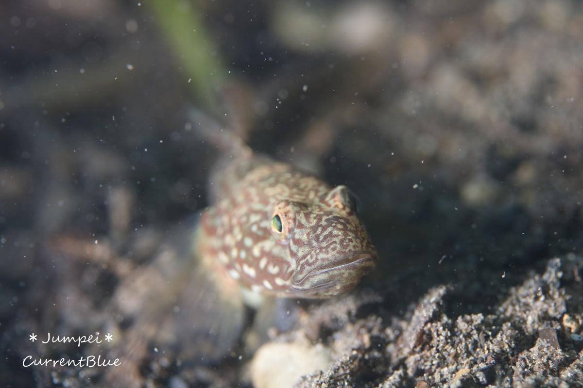 本栖湖の魚たち (1)