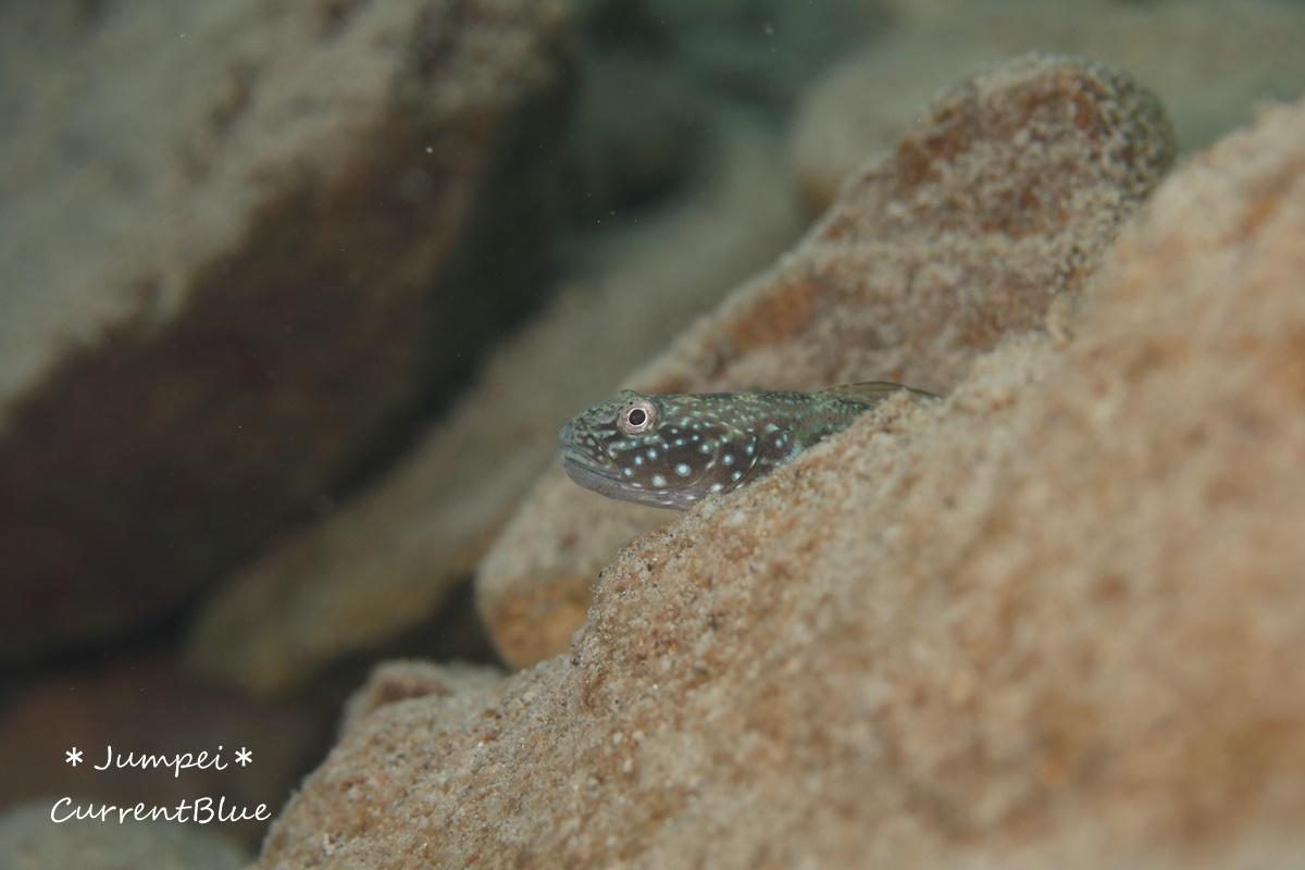 本栖湖の魚たち (4)