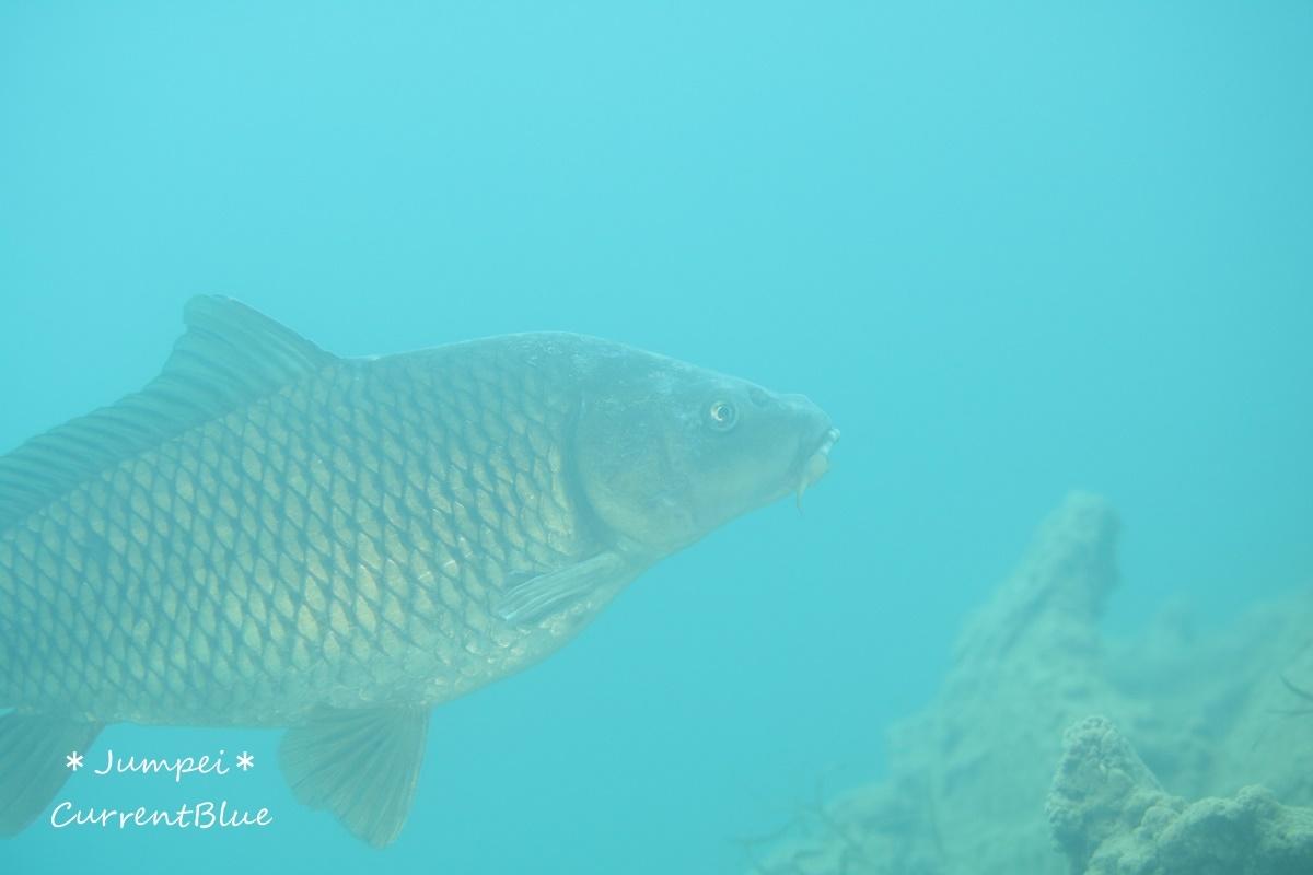 本栖湖の魚たち (7)
