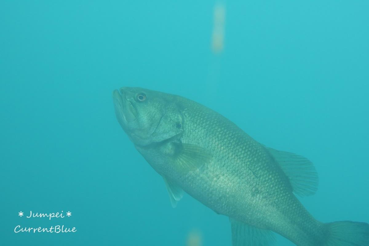 本栖湖の魚たち (9)