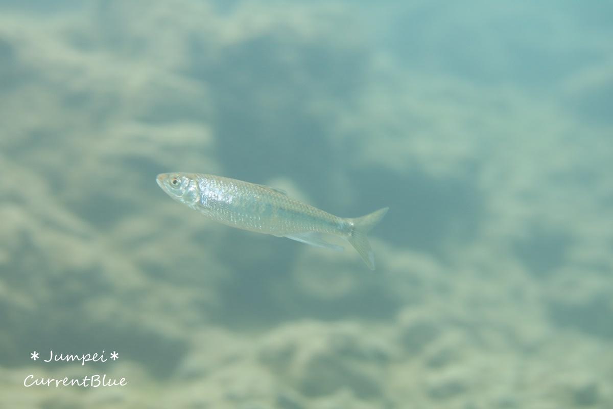 本栖湖の魚たち (14)