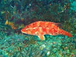 オハグロベラ♀ (4)