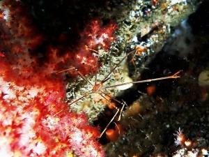 甲殻類210704勝山ダイビング (55)