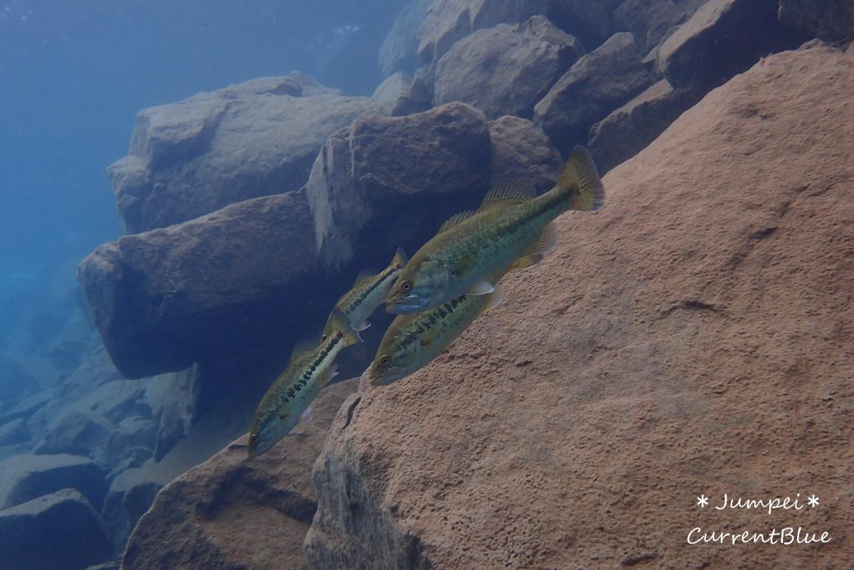 本栖湖水中生物 (2)