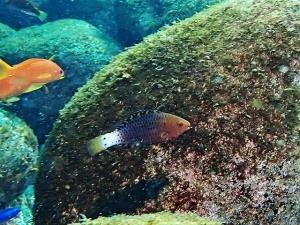 ニシキブダイ幼魚