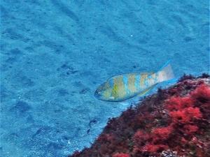 ヒブダイ若魚