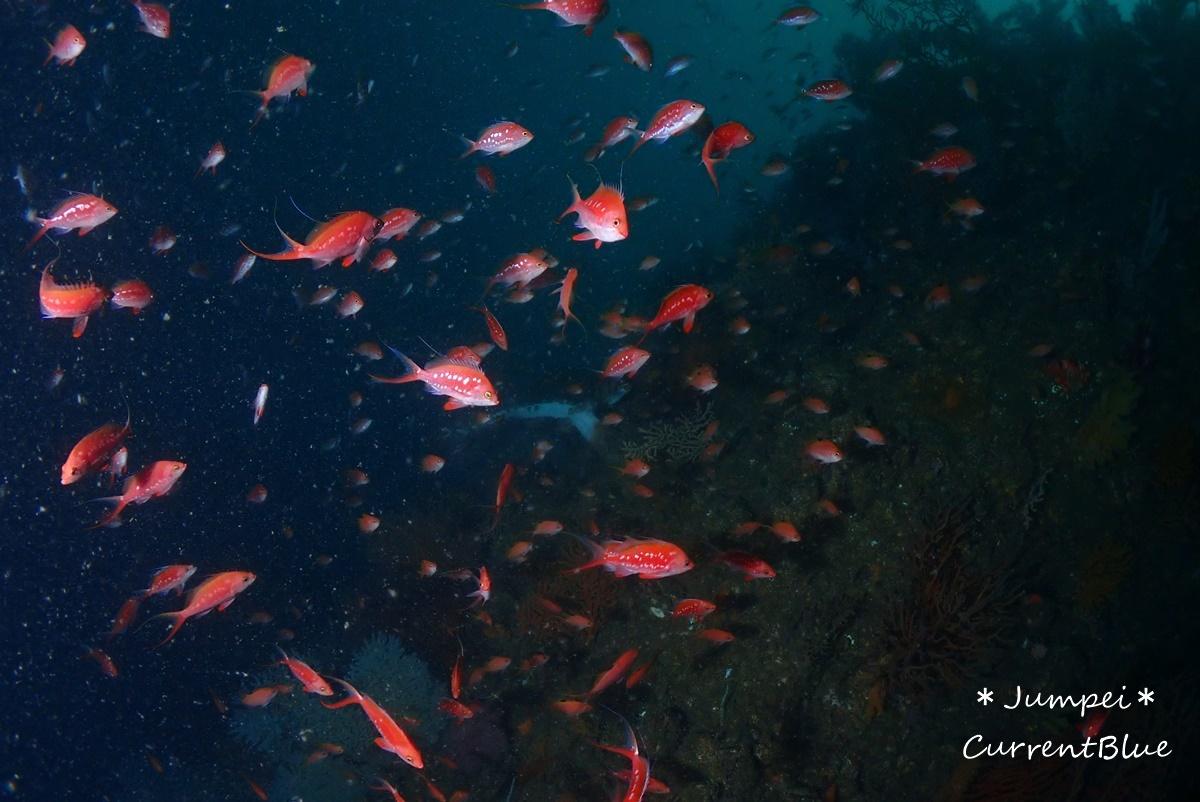 熱海ダイビングおすすめソフトコーラル美しいサクラダイ (13)