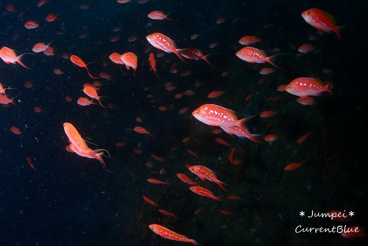 熱海ダイビングおすすめソフトコーラル美しいサクラダイ (17)
