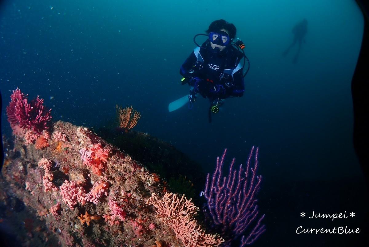 熱海ダイビングおすすめソフトコーラル美しいサクラダイ (25)