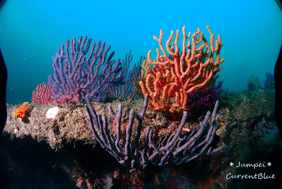 熱海ダイビングおすすめソフトコーラル美しいサクラダイ (39)