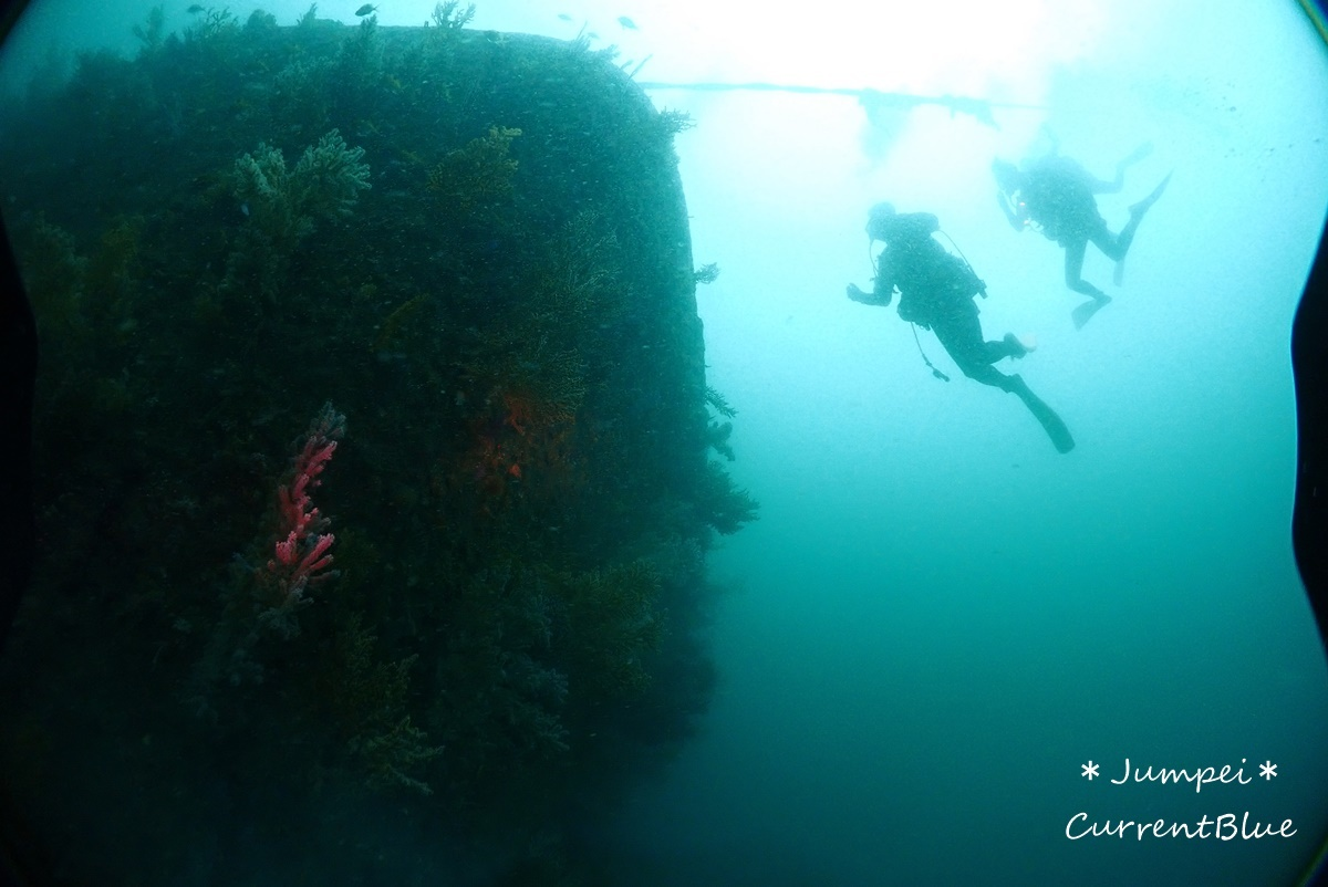 熱海ダイビングおすすめソフトコーラル美しいサクラダイ (26)