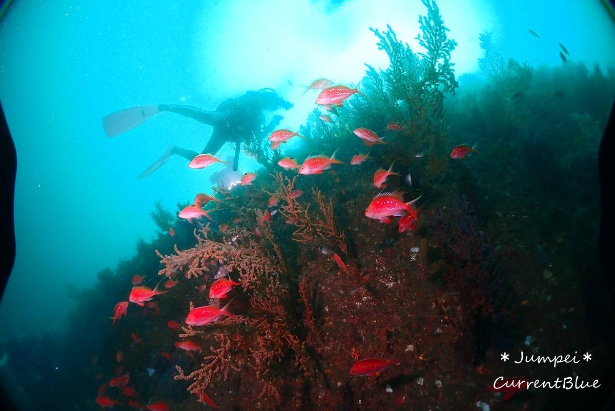 熱海ダイビングおすすめソフトコーラル美しいサクラダイ (27)