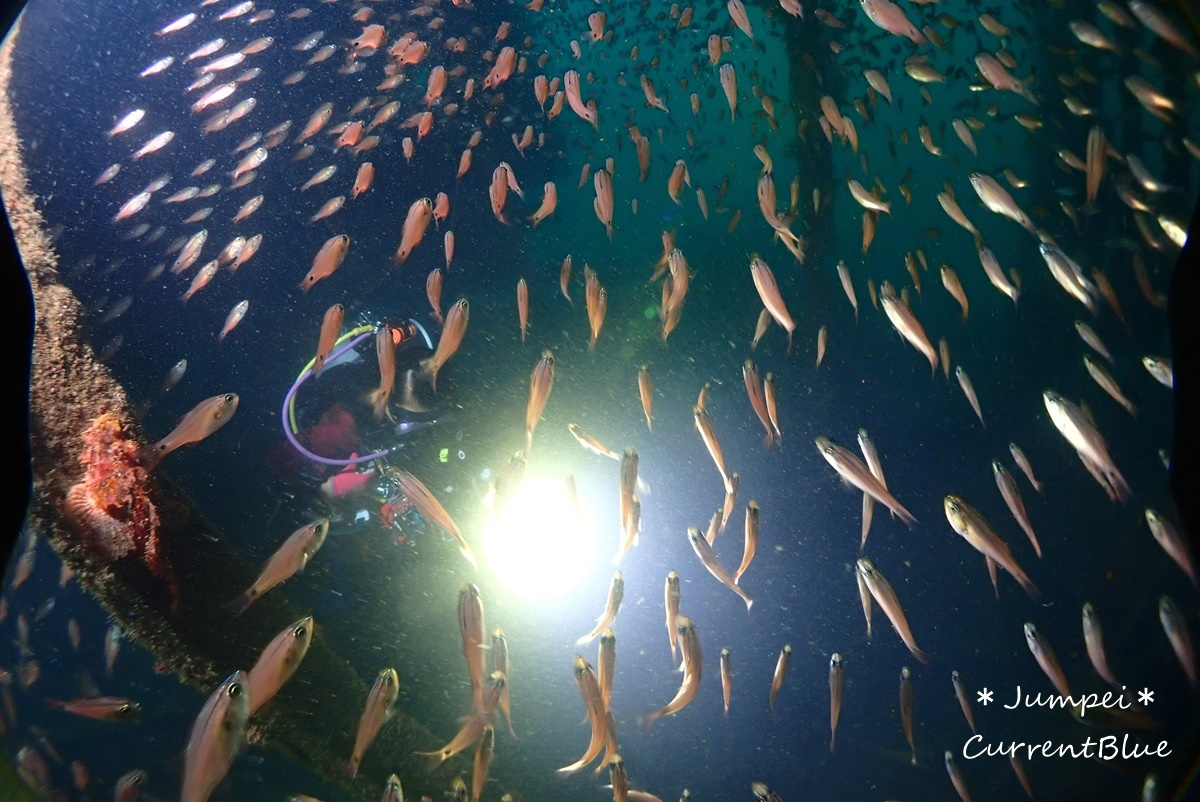 熱海ダイビングおすすめソフトコーラル美しいサクラダイ (35)