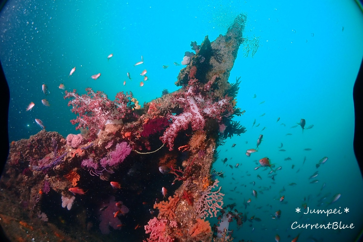 熱海ダイビングおすすめソフトコーラル美しいサクラダイ (37)